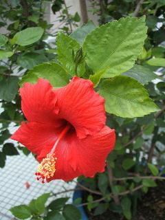 hibiscus_fall.jpg